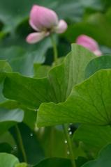 雨の日のハス池2