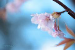 彼岸桜。。