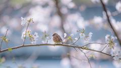 いつかの桜チュン。