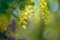 _mimosa