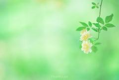 春バラの季節。
