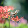 _ SwallowtailBelly