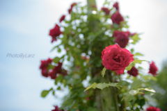 _rose tree