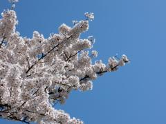 桜のかたまり