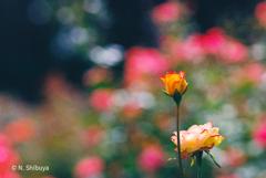 きらめくバラの園。
