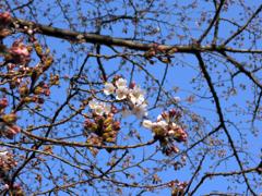 桜のつぼみは、潔く赤い