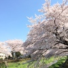 桜香る昼下がり