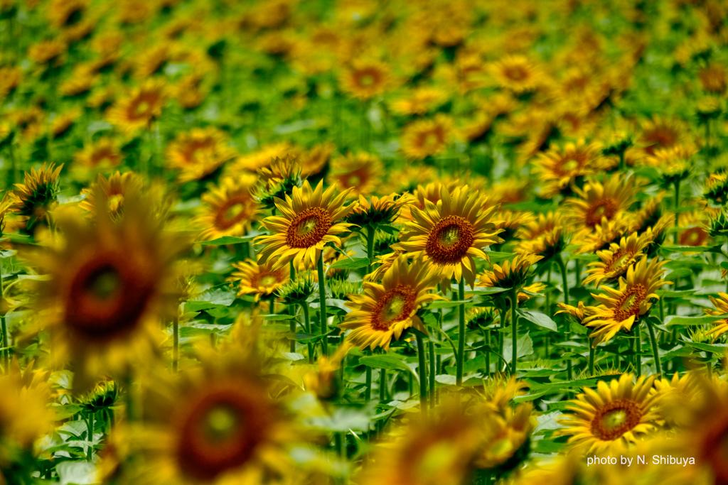 一斉開花。