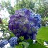 紫陽花の蒼
