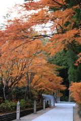 参道の黄葉