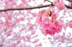 掛川桜vol.2