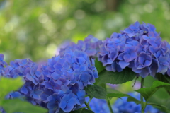 中休み中の紫陽花