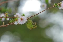 これがホントの秋桜