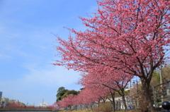 満開の掛川桜