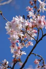 小春日和に十月桜