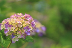 雨待ち紫陽花