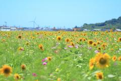 ひまわり畑と再生可能エネルギー