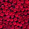 本命チョコのお返しにバラの花束を♪