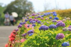 紫陽花散歩