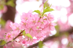 Let's go to see cherry blossoms