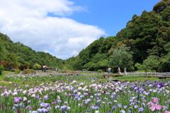 いつかの花菖蒲園