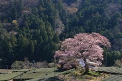 山間の1本桜