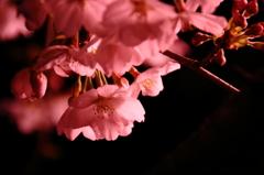闇夜に浮かぶ桜