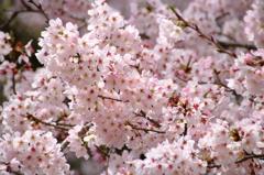 密集する春