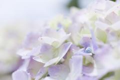 令和元年の紫陽花<其の四>