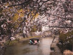 桜の季節の八幡堀
