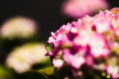 令和元年の紫陽花<其の三>