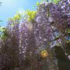 暑さに負けず藤は咲く