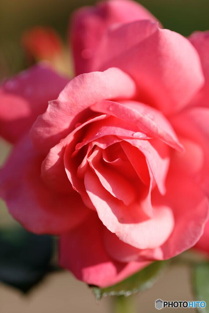秋の薔薇5