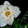 花弁が開いたチューリップ