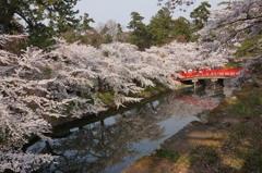 弘前桜満開の思い出