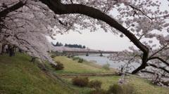 新丁の思い出:桜の満開@桧木内川堤