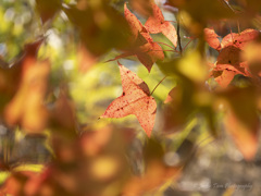 赤い葉の夢