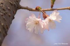 桜の双生児