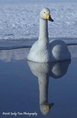 水に映った白鳥の影がたいへん美しい