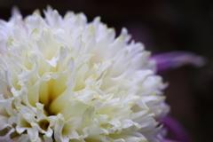 菊 丁子咲き