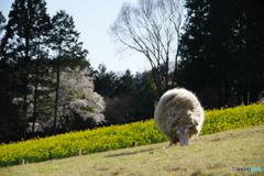 羊と菜の花