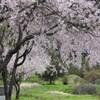 仏生寺の枝垂れ桜