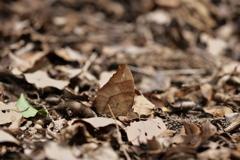 クロコノマチョウ ♀