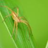 (ご容赦)あしながの~クモ・蜘蛛・くも