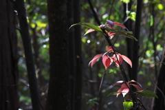 しっとり春の紅葉