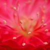 真っ赤な梅
