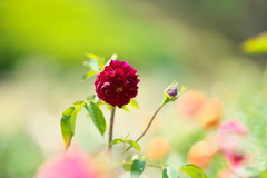 ファニー・ポーズで薔薇の園