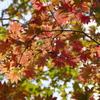 原生林の紅葉(3)