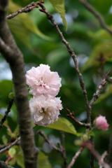 八重の秋桜