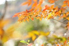 春待つ紅葉